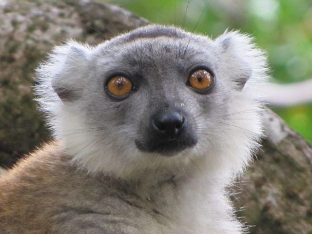 La journée des Lémuriens de Madagascar le 29 octobre 2021